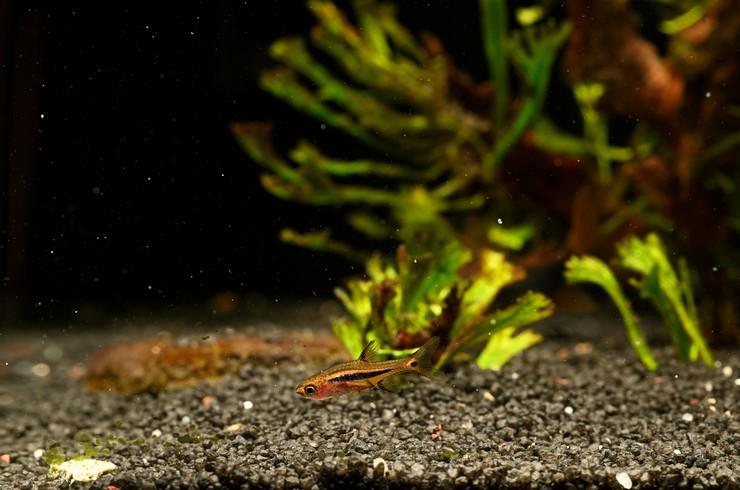 Расбору Бригитты можно содержать в нано-аквариумах