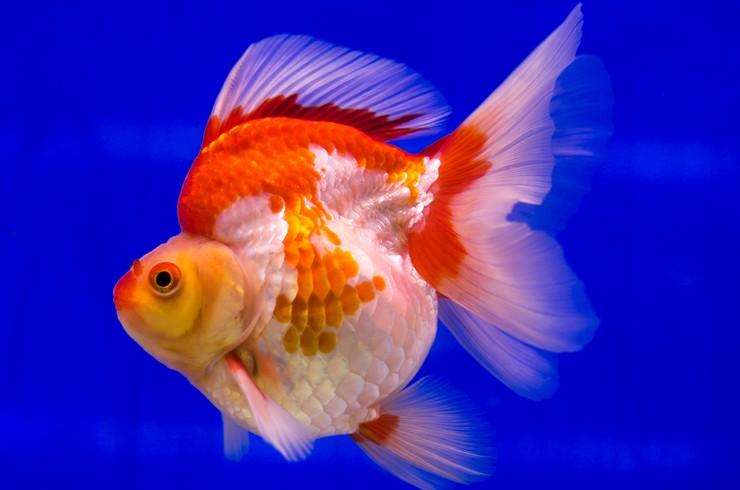 Риукин – короткотелая порода золотых рыбок