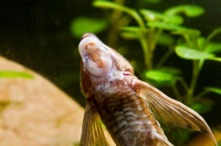 Рот-присоска позволяет стурисомам соскребать водоросли