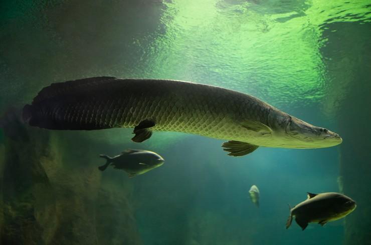 Содержать арапайму можно только с крупными рыбами