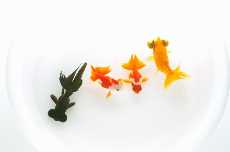 Содержать звездочетов можно с другими короткотелыми породами золотых рыбок
