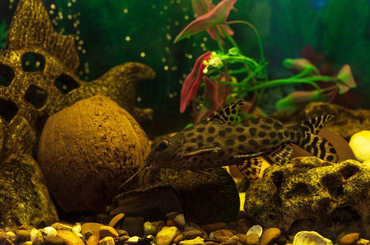 Сомик-перевертыш в аквариуме