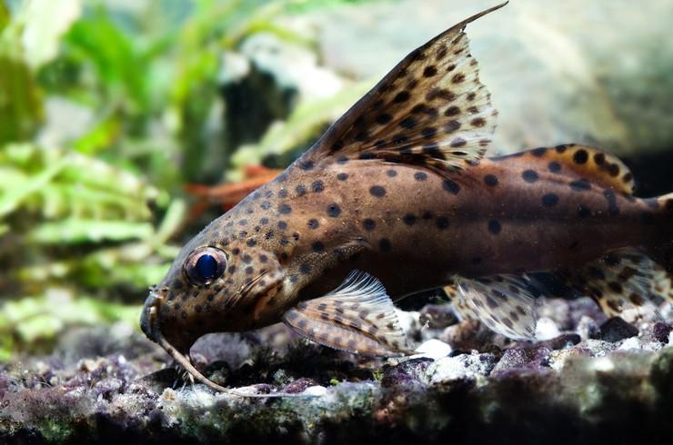 Сомики-перевертыши – всеядные водные обитатели