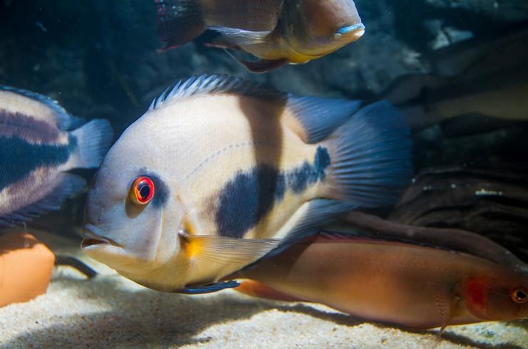 Уару в общем аквариуме