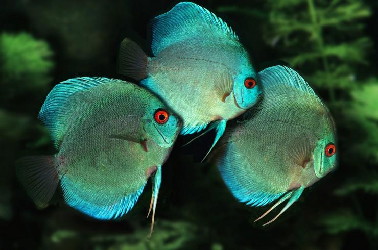 В видовом аквариуме дискусы туркис смотрятся наиболее эффектно