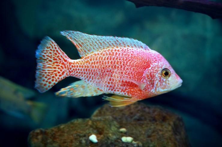 В западных странах цихлида знакома аквариумистам под названием «аулонокара земляничная»