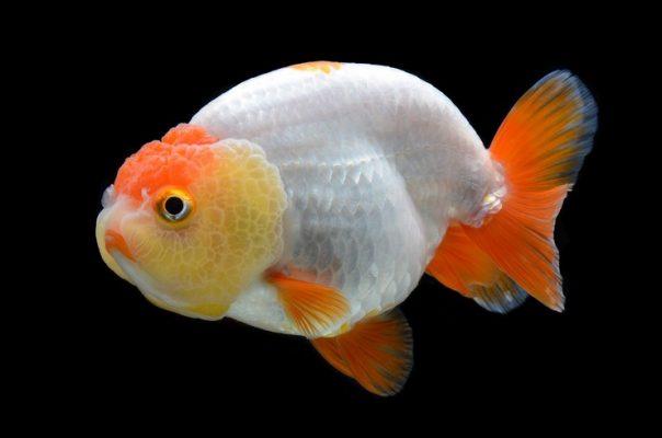 Золотая рыбка ранчу
