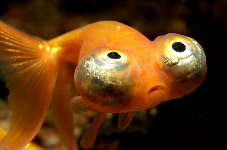 Золотая рыбка звездочет
