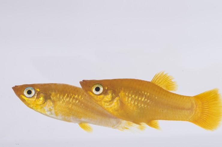 Золотые меченосцы – очень активные рыбки