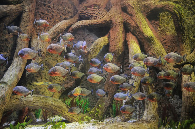 Аквариум с крупными рыбами