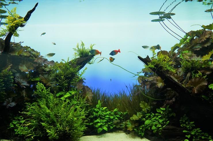 Декорации в аквариуме лучше располагать в соответствии с правилом «золотого сечения»