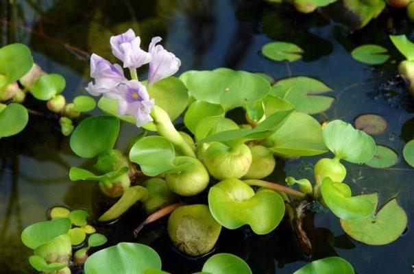 Эйхорния отличная, или водный гиацинт