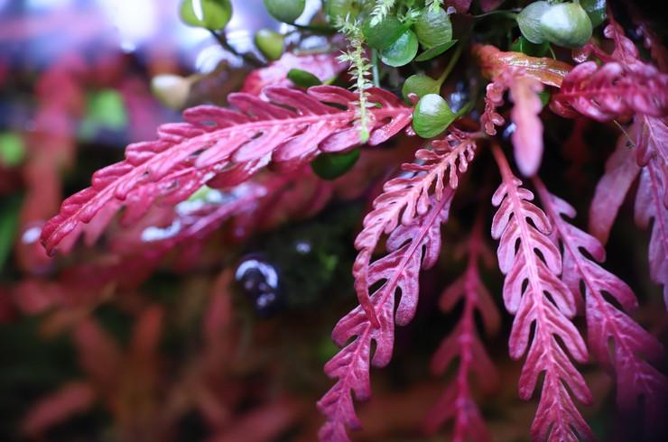 Листья гигрофилы пиннатифиды отличаются высокой декоративностью