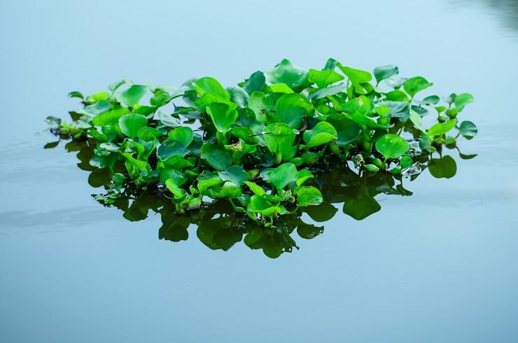 С помощью эйхорнии можно создавать красивые плавающие островки на поверхности пруда