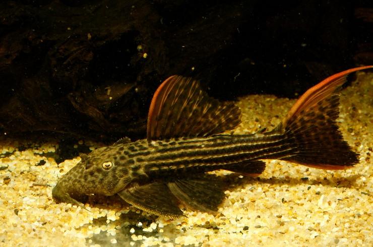 Среди номерных L-сомов встречаются и плотоядные виды, например, L025