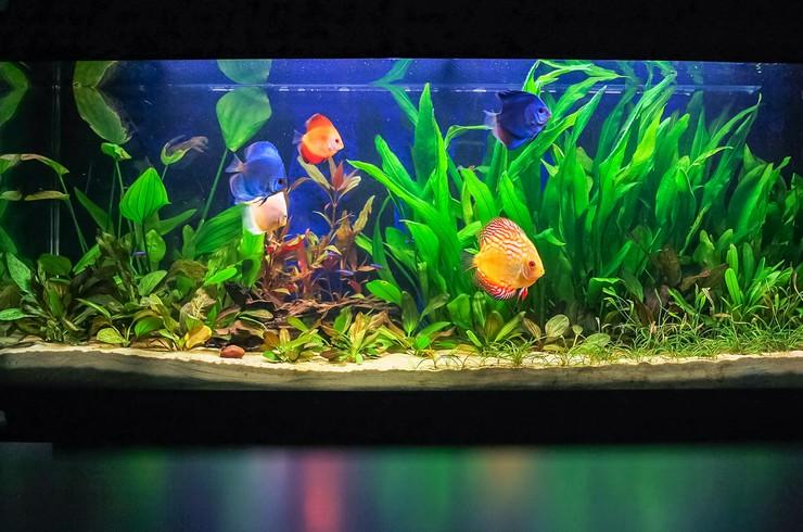 Видовой аквариум с дискусами