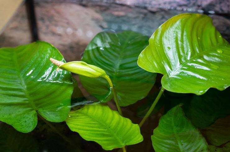 Анубиас Бартера – неприхотливое жестколистное растение