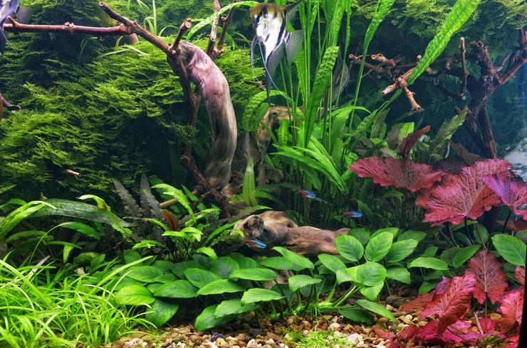 Анубиас нана – отличный выбор для оформления переднего плана аквариума