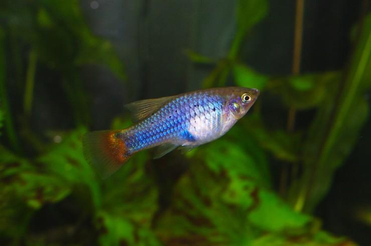 Голубая пецилия – неприхотливая в уходе рыбка