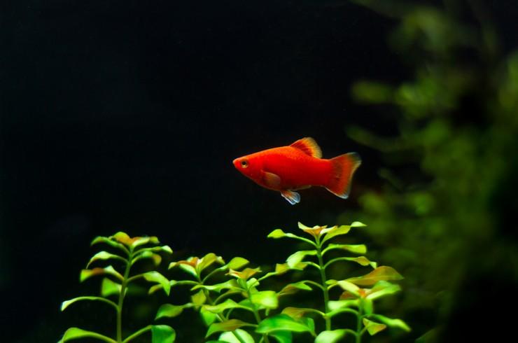 Красные пецилии отлично смотрятся в аквариумах с живыми растениями