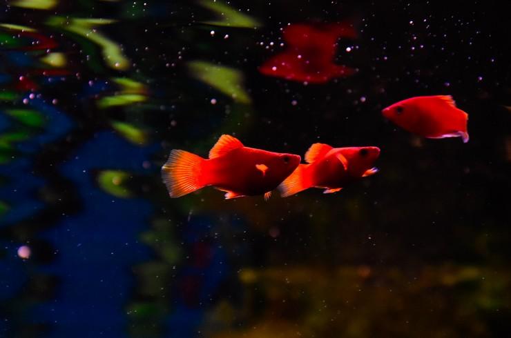 Красные пецилии предпочитают поедать корм с поверхности воды
