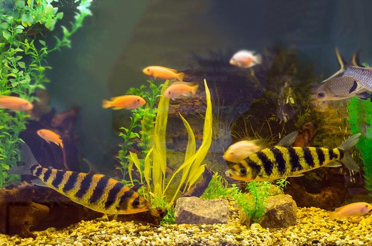 Лепоринусы в общем аквариуме