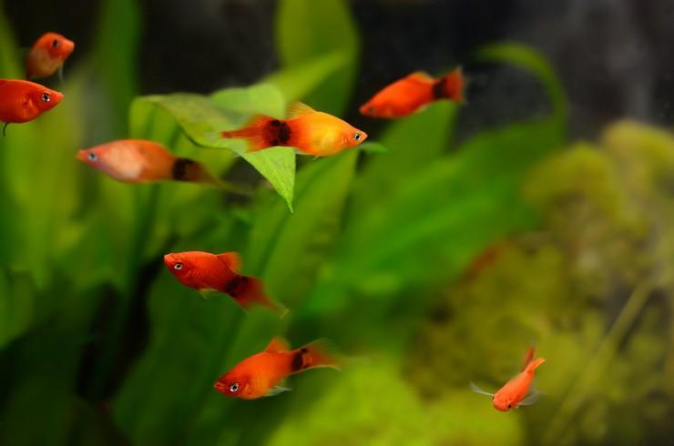Пецилии «Микки Маус» в аквариуме с живыми растениями