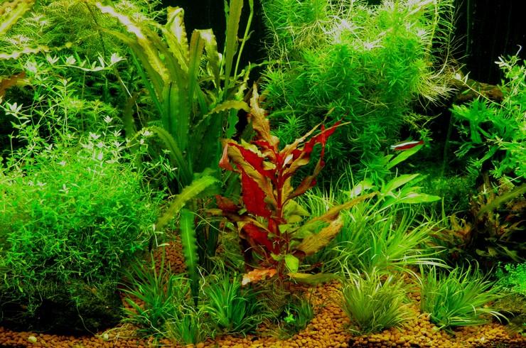 При наличии более высоких растений, кустики бликсы японской хорошо смотрятся и на переднем плане аквариума