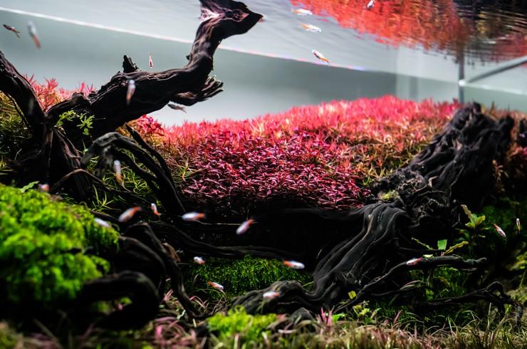 Ротала отлично смотрится на заднем плане аквариума