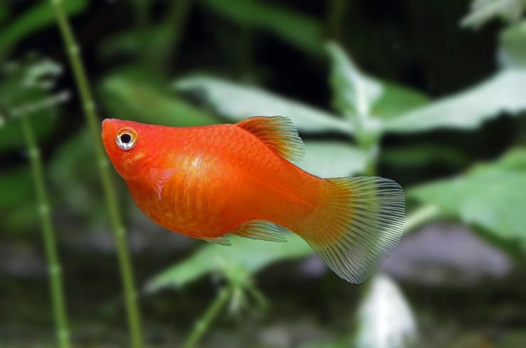 Самка красной пецилии может принести до 80 мальков