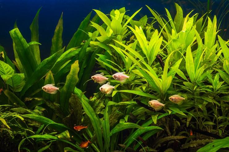 Стайки миролюбивых рыбок оживят любой аквариум травник