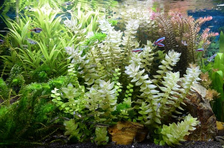 В голландском аквариуме растения занимают не менее 80% площади