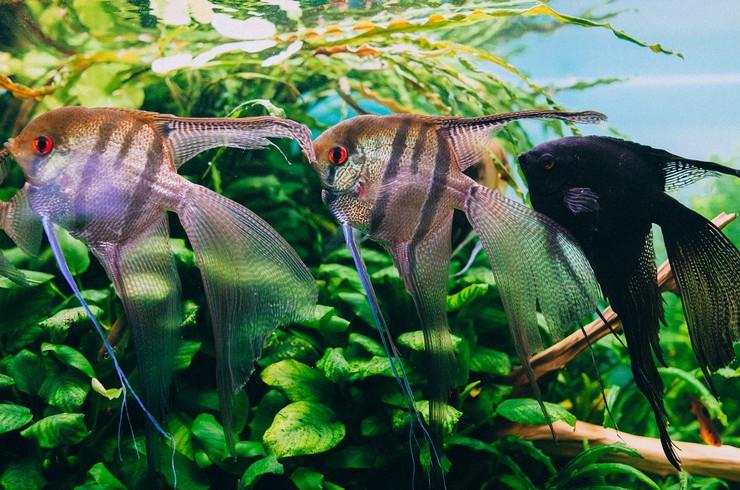Вуалевые скалярии в аквариуме-травнике