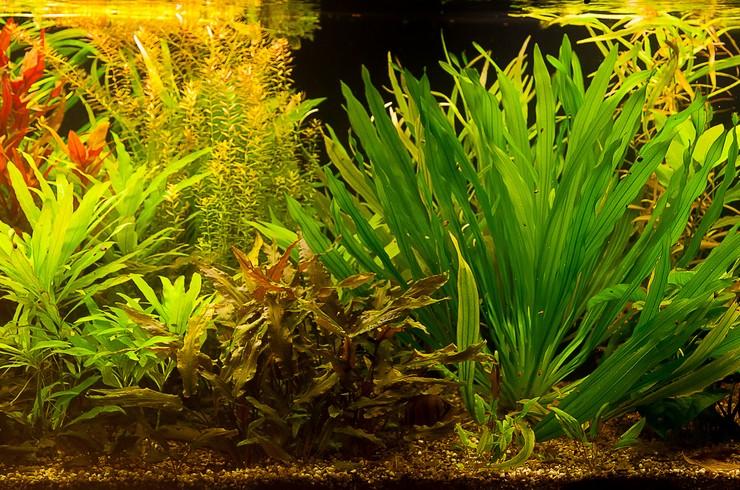 Живые растения не только украшают аквариум, но и приносят пользу