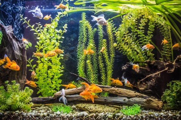 Аквариум для золотых рыбок