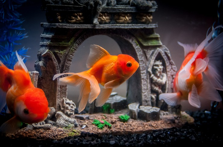 Аквариум с золотыми рыбками можно оформить красиво и необычно