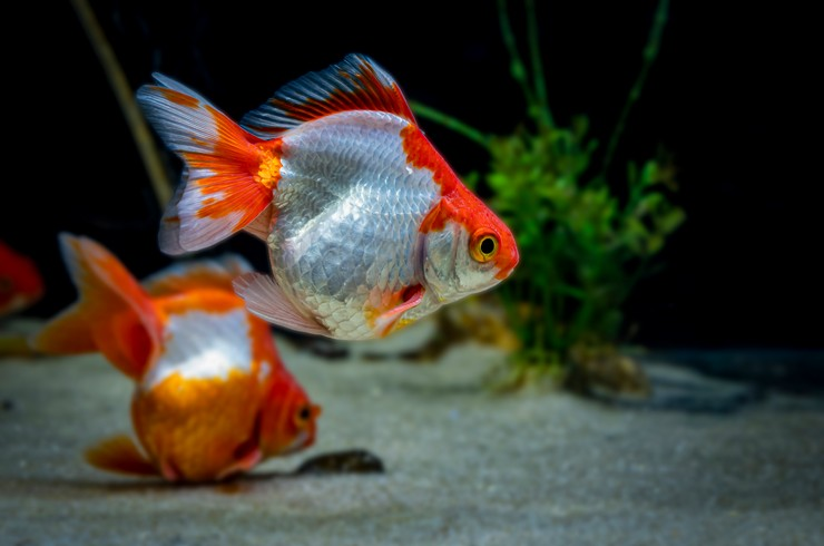 Ассортимент золотых рыбок необычайно велик
