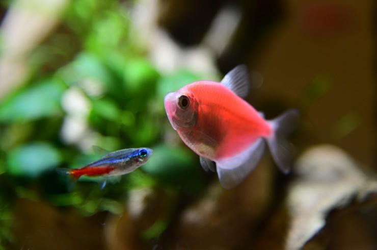 Красные тернеции отлично сочетаются с мирными видами рыб