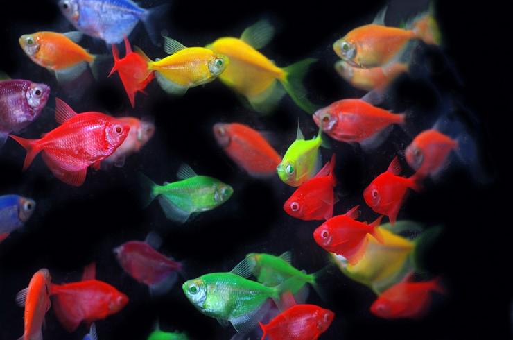 Красные тернеции светятся под лампами с синим спектром