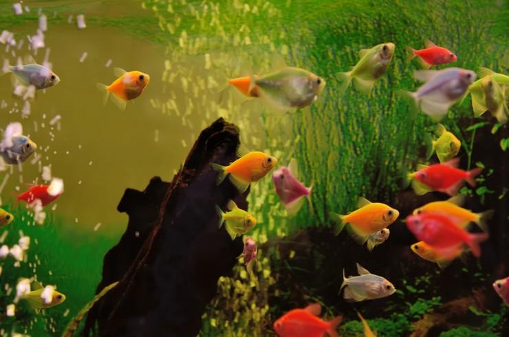 Красные тернеции в аквариуме