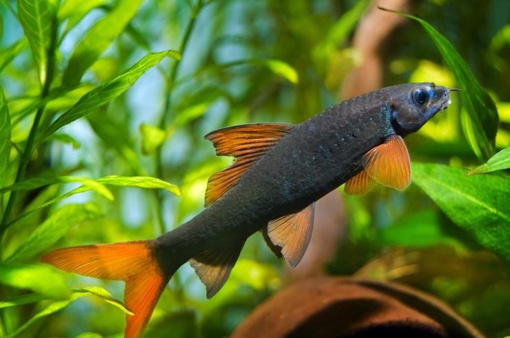 Лабео зеленый – рыбка одиночка