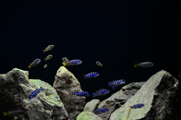 Лаконичный дизайн аквариума для малавийских цихлид