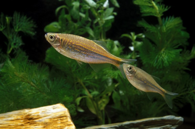 Малабарские данио легко размножаются в домашних условиях
