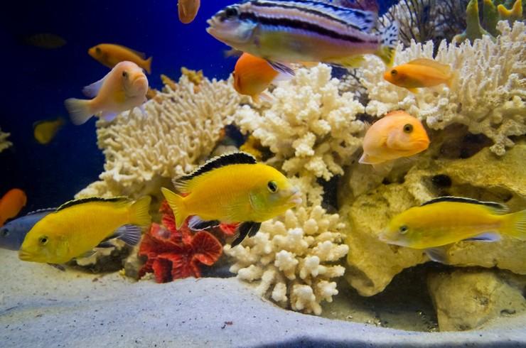 Малавийские цихлиды – самые частые жители псевдоморского аквариума