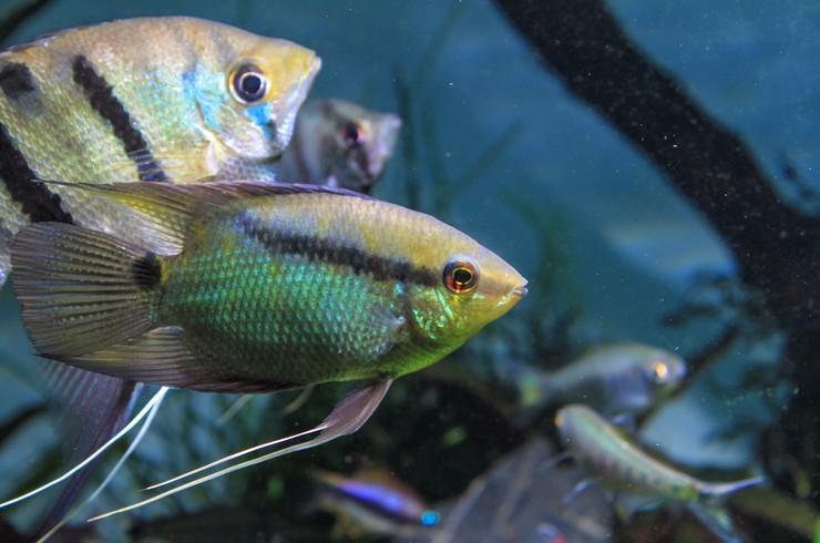 Мезонаута совместима со многими декоративными рыбками среднего размера