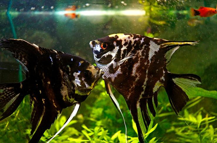 Мраморные скалярии – относительно миролюбивые рыбки