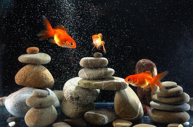 На одну золотую рыбку должно приходиться не менее 50 литров воды