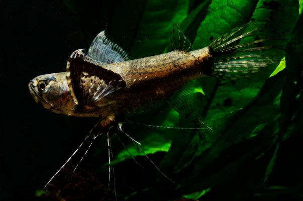 Пантодон, или африканская рыба-бабочка