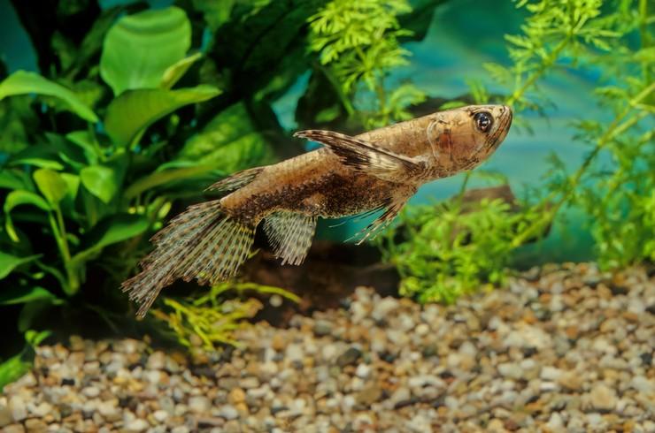 Пантодон в аквариуме