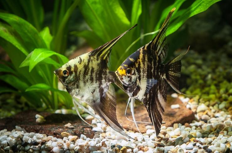 Скалярии мраморные – красивые и несложные в уходе аквариумные рыбки